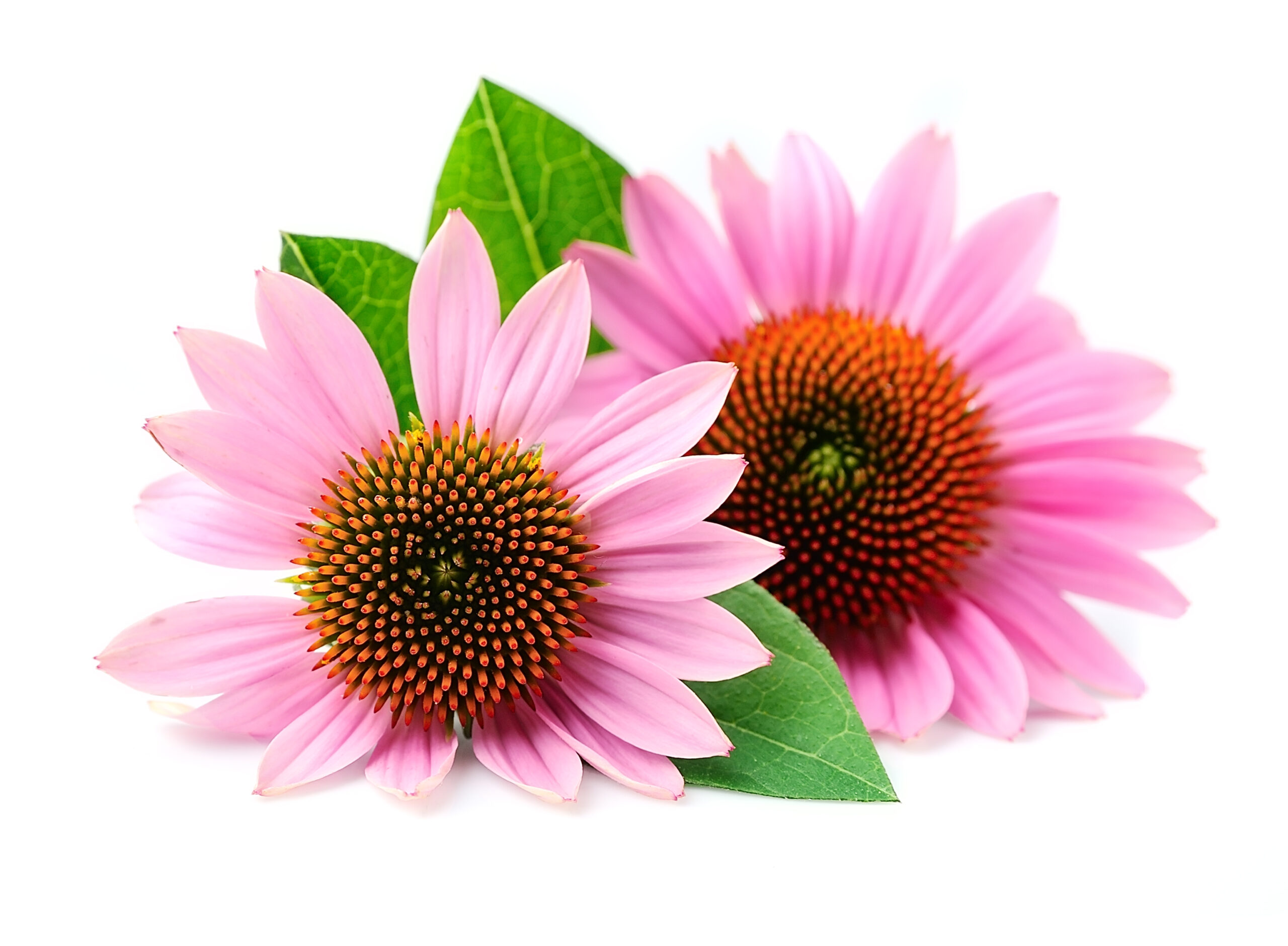 echinacea flowers close up isolated medicinal plant scaled